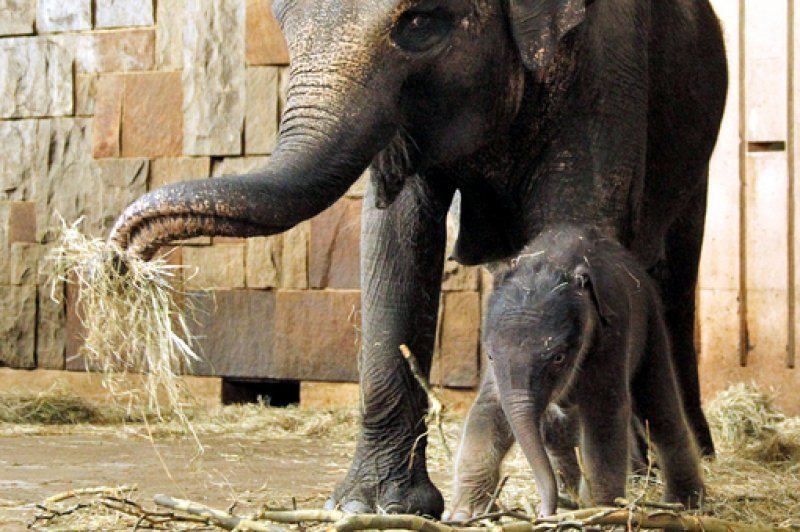 7. Four-day-old elephant calf Bimas and his mother Cynthia walk in enclosure during his first day in public in the Tierpark zoo in Berlin – 19.03.2010